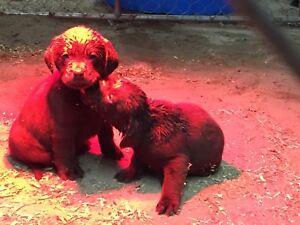 Chiot labrador brun