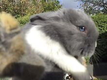 Baby Bunnies! Highgate Unley Area Preview