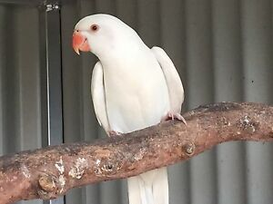 Indian ringneck Burpengary Caboolture Area Preview