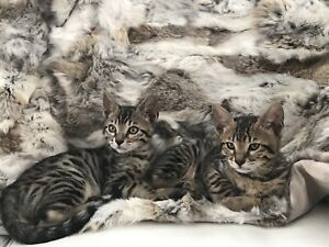 2 chat  bengal a vendre