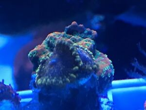 Coral colonies and frags