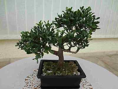 Bonsai Baum Koi Saikei künstliche Pflanzen Bonsai Teeblatt x2-16cm hoch.