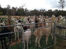 Alpacas for sale Byford Serpentine Area Preview