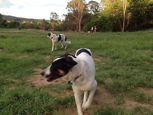 Billy and Dusty - 8 Month Old Beautiful Dogs for Free Ashgrove Brisbane North West Preview