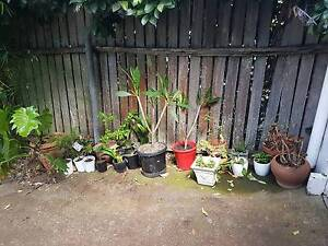 Various plants for sale - Philodendron, Clivia, frangipani, more Mount Lofty Toowoomba City Preview