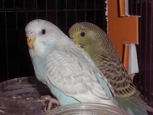 Budgies young birds Ballajura Swan Area Preview