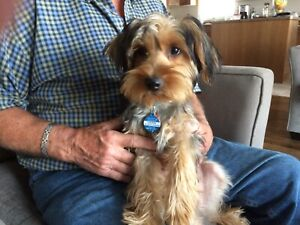 5 Month Old Yorkie For Sale