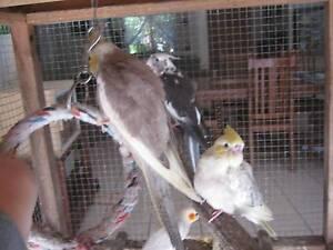 Cockatiel handreared babies Palmwoods Maroochydore Area Preview