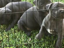 Blue English Staffy pups Cranbourne Casey Area Preview
