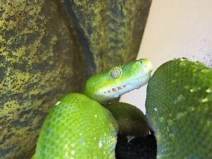 Green tree Python female 3.5 years Bentleigh Glen Eira Area Preview