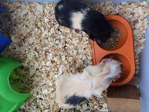 Two Guinea Pigs Looking For New Home!