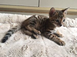 Male Bengal Kitten Registered with TICA