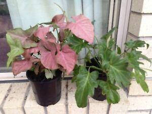 shade plants Ormeau Gold Coast North Preview