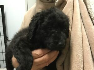 Standard Poodle cross Puppies