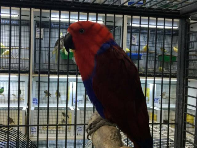 Eclectus Female - Breeding Age | Birds | Gumtree Australia