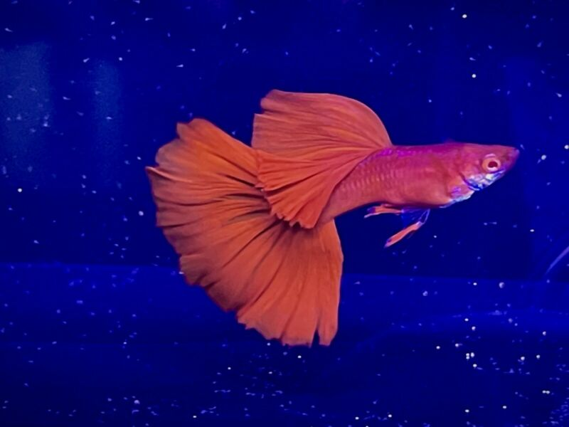 (Have Video) Trio 2 Fe 1 Male High Quality Guppy Full Red BDS(2Days Shipping)