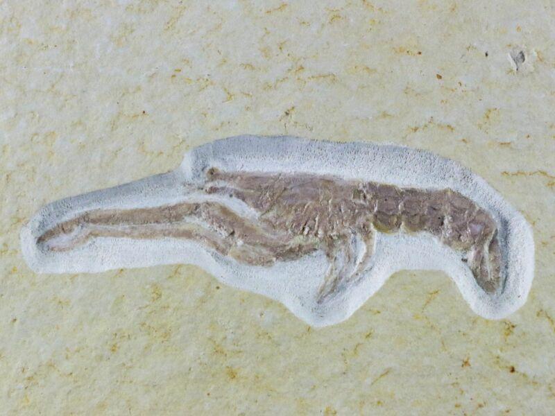 "2.2"" Mecochirus longimanatus Fossil Lobster Jurassic Age Solnhofen Germany Stand"