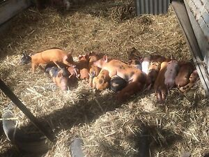 Piglets large white cross Lanitza Clarence Valley Preview
