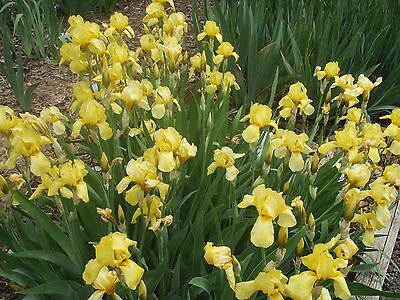 Small old fashioned yellow Iris Tall Bearded 10 plants