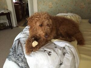 Goldendoodle Rehoming