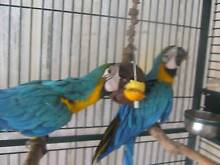 Blue and Gold Macaw Babies 6 mths Parrot Hand Raised Palmview Maroochydore Area Preview