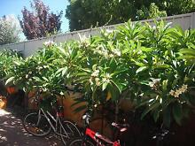 Frangipani Trees Yokine Stirling Area Preview