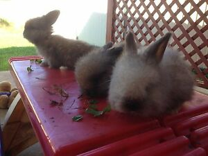 English Angora Kits Bligh Park Hawkesbury Area Preview
