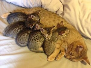 kittens for sale in Perth Region, WA | Cats & Kittens | Gumtree