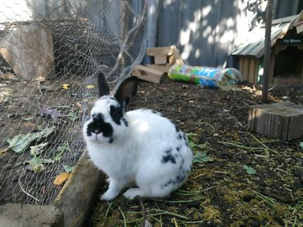 Netherland Dwarf Rabbit Female