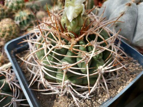 gymnocalycium ferox v. ferocior 30 SEEDS cactus cacti