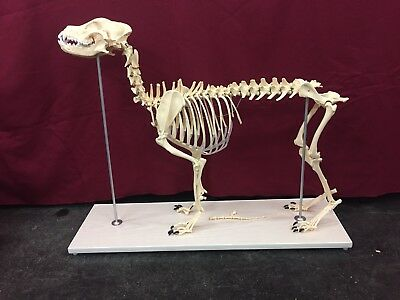 Dog Skeleton Anatomical Specimen