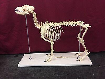 Dog Skeleton Anatomical Specimen