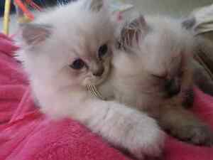 Ragdoll x Chinchilla Kittens = Ragamuffins Altona North Hobsons Bay Area Preview
