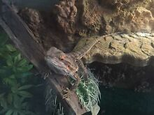 Bearded Dragon + Granite/Glass enclosure and extra's! Durack Palmerston Area Preview