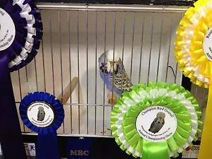 Budgies - MBC CLUB CHAMPIONSHIP SHOW 25/02/2017 CANCELLED Ascot Belmont Area Preview