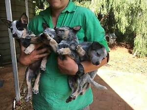 Blue Cattle Dog Pup, female Nyngan Bogan Area Preview