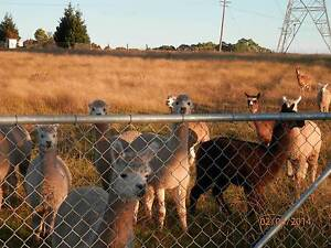 Alpacas for Sale Appin Wollondilly Area Preview