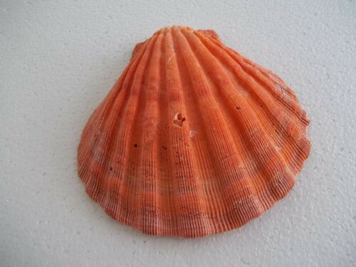 "Orange Lions Paw Scallop Shell  5"" Plus Seashell Beach Nautical Decor #8A"