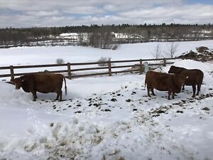 Red Angus cows for sale
