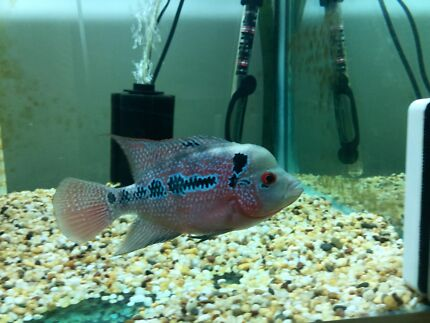 Female Rd flowerhorn South Ripley Ipswich City Preview