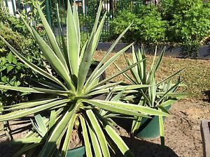 Large, medium and 7 small agave plants Brinsmead Cairns City Preview