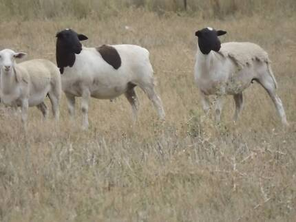 Dorper lambs,  from $60 to $115