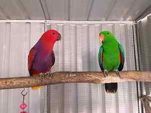 Vosmaeri eclectus male and female with Aviary Greenacre Bankstown Area Preview