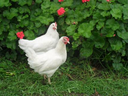 $28 for 17 wk old  Hens Black, Brown or WHITE hens