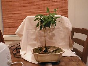 Bonsai tree in pot New Lambton Newcastle Area Preview