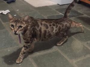 Purebred entire Bengal female Ipswich City Preview