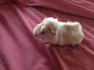 GUINEA PIGS - 2 MALES APRICOT AND WHITE GORGEOUS BOYS!! Tuggerah Wyong Area Preview