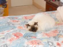Free to good loving home CHOCOLATE POINT BIRMAN CAT Fadden Tuggeranong Preview