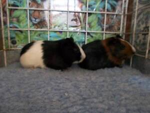 Baby Guinea Pigs Swanbourne Nedlands Area Preview