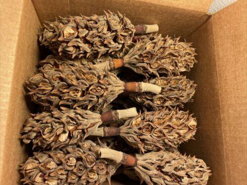 "35-40 Magnolia Pods Cones Organic Southern Natural 3""-5"" Crafts Fish Reptile"